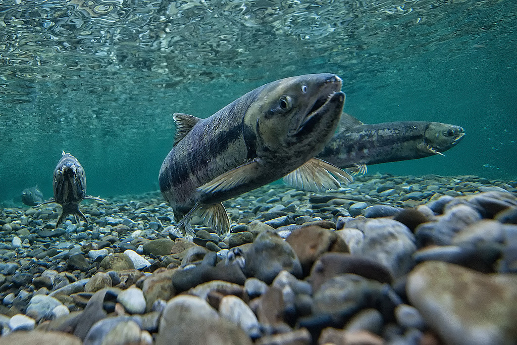 A female Chum Salmon guarding it's spawning bed in the crystal clear waters of the Fishing Branch River. The chum salmon run this year is expected to be around 35,000. <br /> <br /> In 1986, the first salmon count on the Fishing Branch River was over 350,000 fish. The mismanagement of the salmon has lead to runs as low as 9,000 fish.