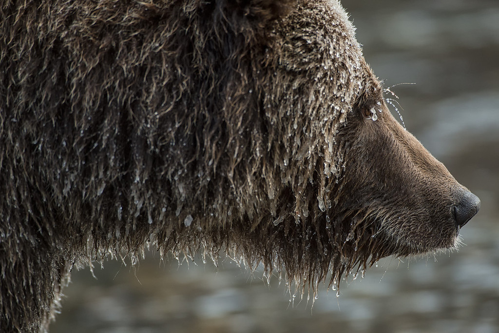 "The grizzly bears near Bear Cave Mountain are famously known as ""ice-bears"". When fishing for salmon in temperatures below minus 20 Celsius, the water quickly freezes to their hair and creates an icicle covered grizzly."
