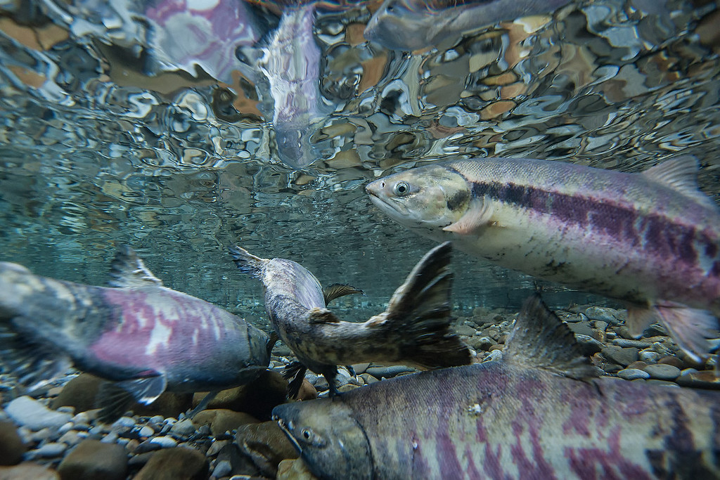 Three male chum salmon fight for the right to spawn with a healthy female.