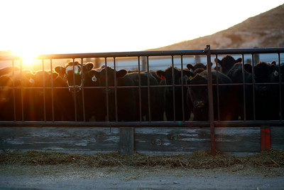 Cattle wait to be fed on the Beyer family farm on Saturday, Nov. 2, 2019 in Sidney, NE.