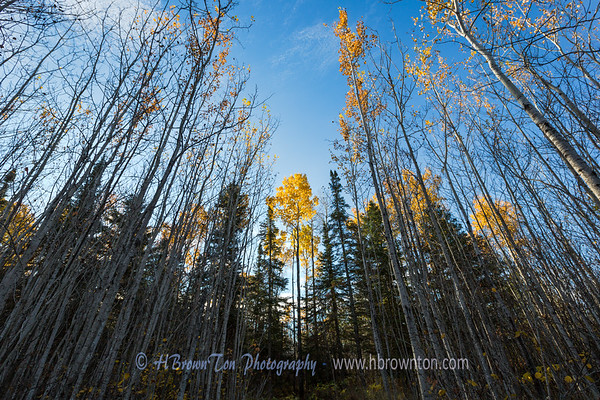 Standing Tall Amongst the Other Birches