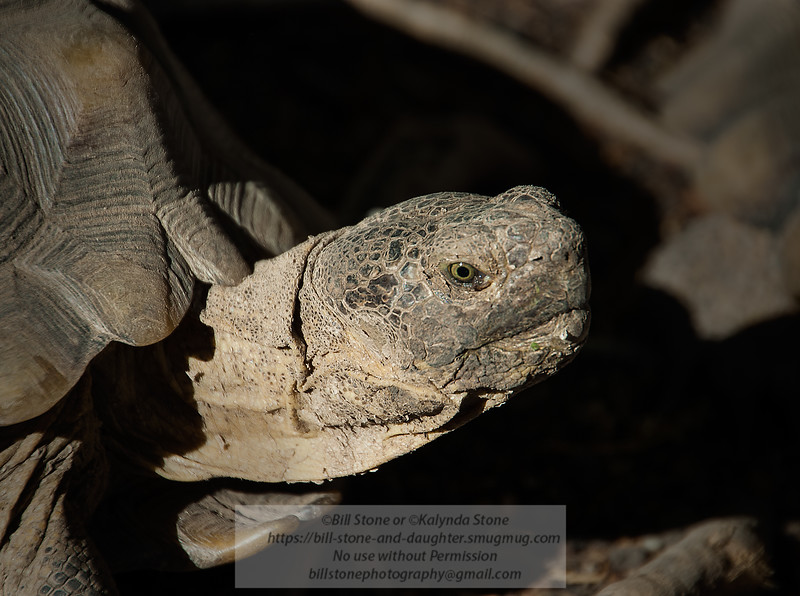 California Desert Tortoise (Gopherus agassizii)<br /> Photo-a-Day 10/4/2012 Bill Stone