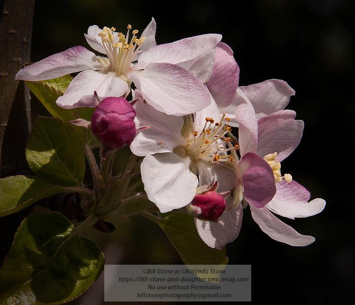Apple blossoms<br /> Photo-a-Day 4/7/2012 Bill Stone