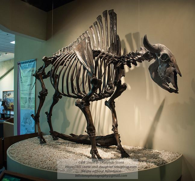 Ancient Bison found in the La Brea Tar Pits<br /> Photo-a-Day 9/27/2012 Bill Stone