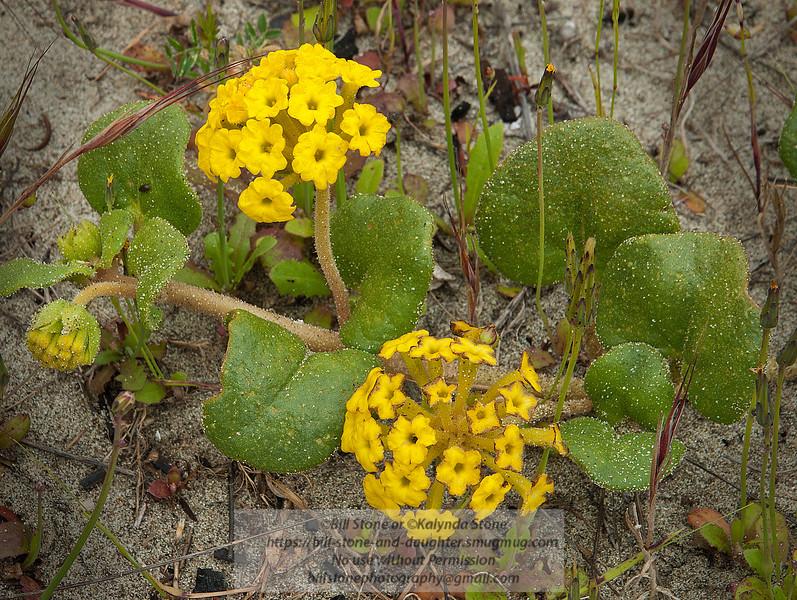 Abronia latifolia, Yellow Sand Verbena<br /> Photo-a-Day 6/4/2012 Bill Stone