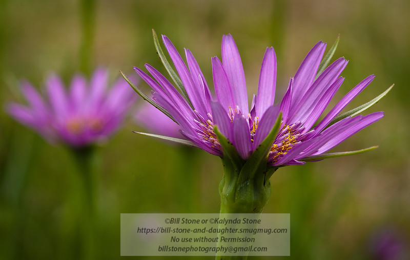 Purple flower from garden in situ<br /> Photo-a-Day 4/24/2012 Bill Stone