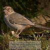 California Towhee - Pipilo crissalis - Monterey County, California<br /> Photo-a-Day 2/5/2012 Bill Stone