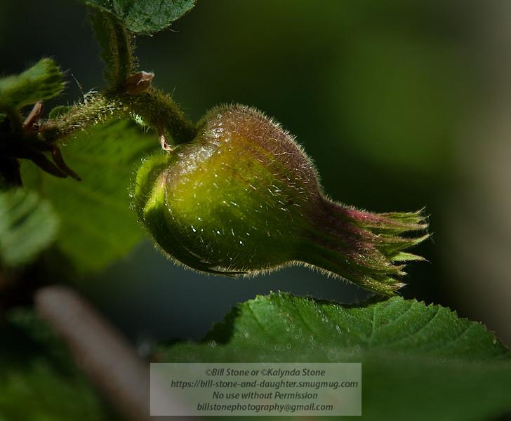 Forming fruit of the California Hazelnut - Corylus cornuta<br /> Photo-a-Day 5/27/2012 Bill Stone