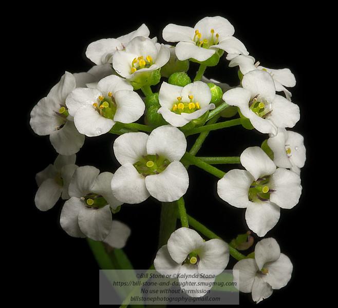 Close-up of Sweet Alyssum (Lobularia maritima)<br /> Photo-a-Day 4/12/2012 Bill Stone