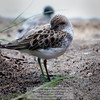 Sanderling (Calidris alba)<br /> Photo-a-Day 8/22/2012 Bill Stone