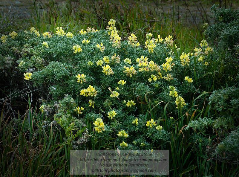 Yellow bush lupine - Lupinus arboreus - Sonoma County<br /> Photo-a-Day 6/12/2012 Bill Stone