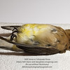 Dead Cedar Waxwing (Bombycilla cedrorum) found in backyard<br /> Photo-a-Day 1/31/2012 Bill Stone