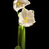 Snowbells<br /> Photo-a-Day 2/15/2012 Bill Stone