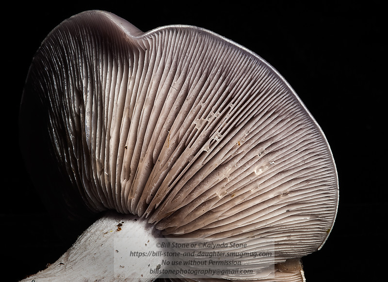 Mushroom Cap close-up<br /> Photo-a-Day 11/30/2012 Bill Stone