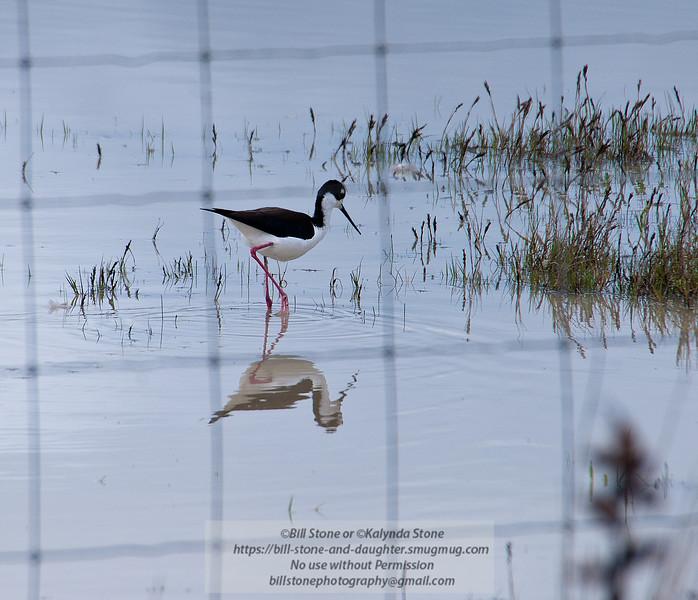 Black-necked Stilt - Himantopus mexicanus - through the fence