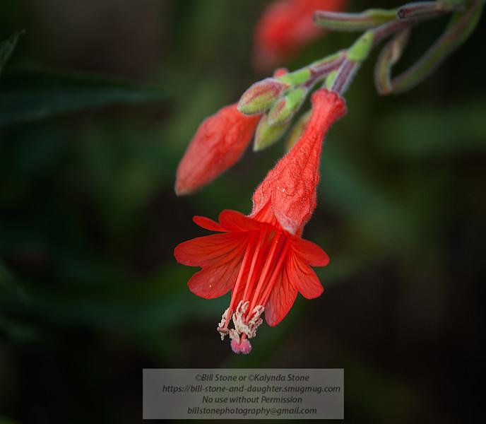Epilobium canum (was Zauschneria californica) - California Fuchsia<br /> <br /> Photo-a-Day 10/26/2012 Bill Stone
