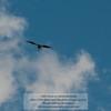 California Condor - over Grand Canyon<br /> Photo-a-Day 6/17/2012 Bill Stone