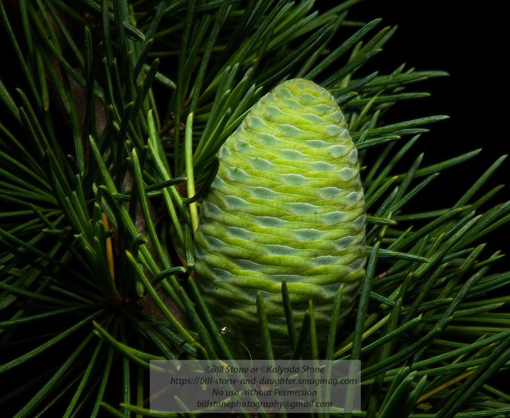 Immature seed cone of Deodar Cedar (Cedrus deodara)<br /> Photo-a-Day 4/29/2012 Bill Stone