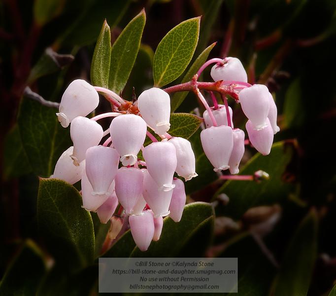 Photo-a-Day 3/20/2012 Bill Stone<br /> A species of Manzanita (Arctostaphylos)