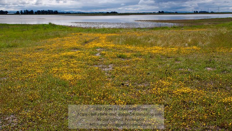 Goldfields (Lasthenia sp.) and Olcott Lake at the Jepson Prairie Preserve, Solano County <br /> California<br /> Photo-a-Day 3/25/2012 Bill Stone