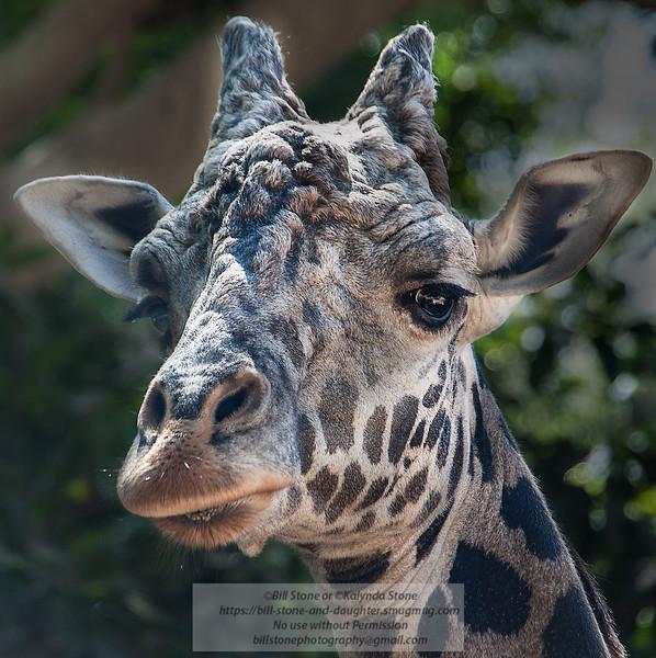 Giraffe head close-up<br /> Photo-a-Day 9/29/2013 Bill Stone
