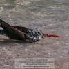 American Oystercatcher (Haematopus palliatus) bathing<br /> Photo-a-Day 6/2/2013 Bill Stone
