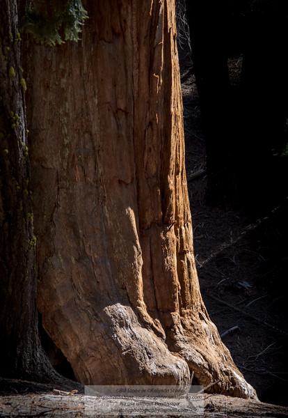 Sequoiadendron giganteum, giant sequoia, giant redwood, Sierra redwood, Sierran redwood<br /> Photo-a-Day 10/31/2013 Bill Stone