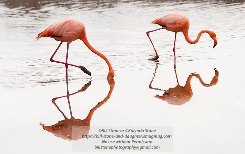 Galapagos Flamingos (Phoenicopterus Ruber)<br /> Photo-a-Day 6/3/2013 Bill Stone