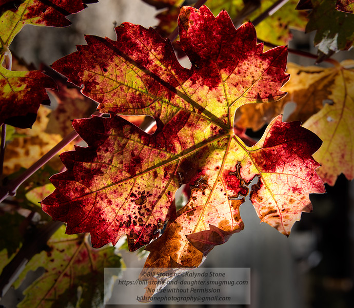 Autumn Grape Leaf<br /> Photo-a-Day 11/11/2013 Bill Stone