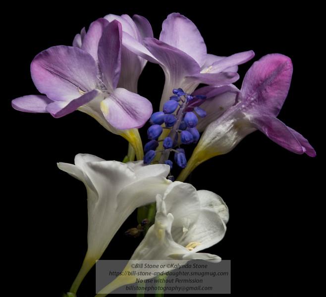 Freesia and grape hyacinth<br /> Photo-a-Day 4/3/2013 Bill Stone