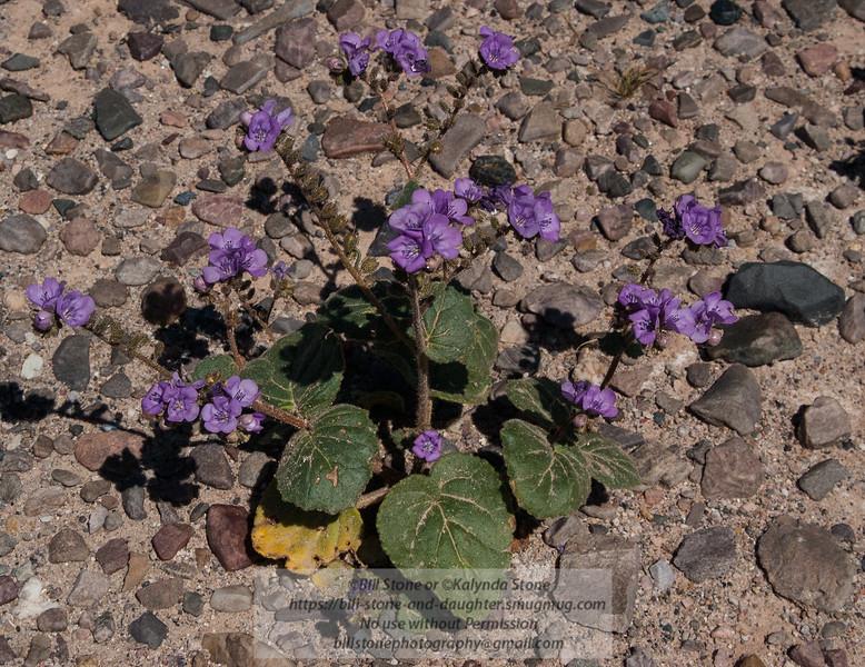 Phacelia calthifolia (Caltha-leaved Phacelia)<br /> Photo-a-Day 3/1/2013 Bill Stone