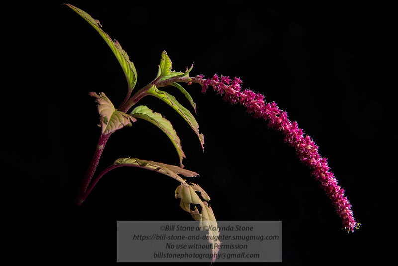 red love lies bleeding (amaranthus caudatus)<br /> Photo-a-Day 9/14/2013 Bill Stone
