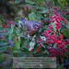 American Robin (Turdus migratorius) feeding on Toyon (Heteromeles arbutifolia) berries