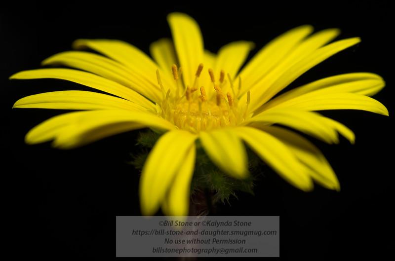 yellow daisy<br /> Photo-a-Day 4/12/2013 Bill Stone