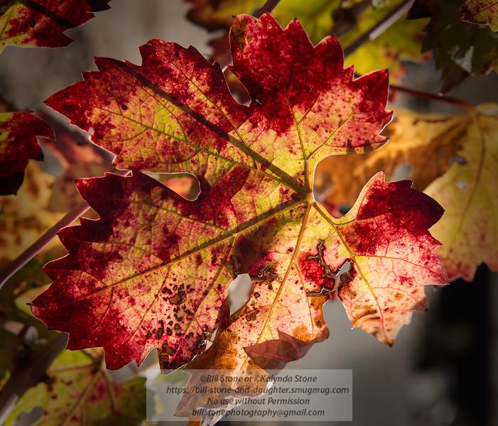 Happy Thanksgiving 2013<br /> <br /> Photo-a-Day 11/28/2013 Bill Stone<br /> Fall grape leaf