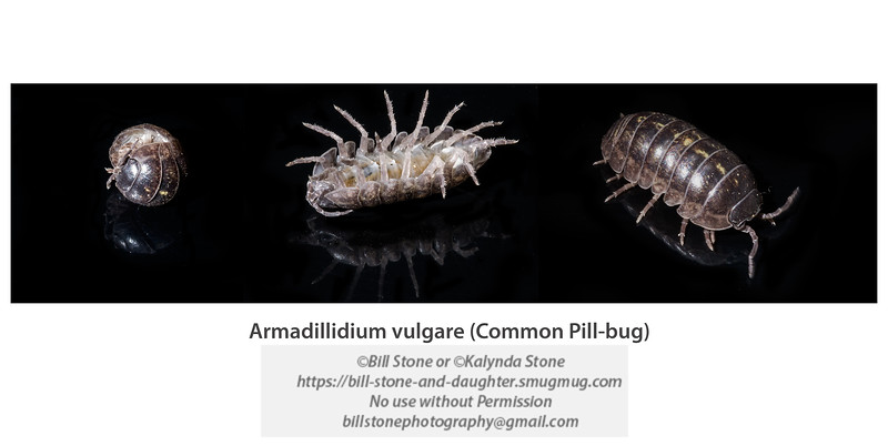 Armadillidium vulgare (common pill-bug)<br /> Photo-a-Day 3/6/2013 Bill Stone