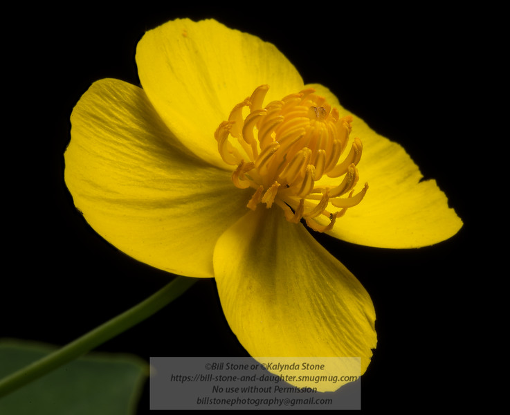 Dendromecon harfordii (Island Bush Poppy)<br /> Photo-a-Day 5/1/2013 Bill Stone<br /> New plant for my front yard