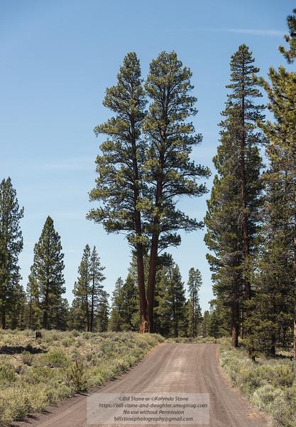 A twin trunk Ponderosa Pine (Pinus ponderosa) near Fort Rock, Oregon<br /> Photo-a-Day 6/11/2013 Bill Stone