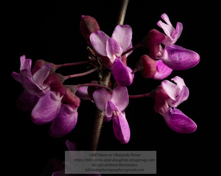 Cercis occidentalis - Western or California Redbud<br /> Photo-a-Day 3/13/2013 Bill Stone