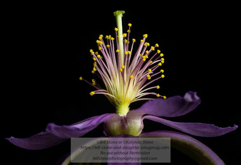 Lavender Starflower (Grewia occidentalis)<br /> Photo-a-Day 5/19/2013 Bill Stone