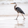 Great Blue Heron (Ardea herodias)<br /> Photo-a-Day 12/1/2013 Bill Stone