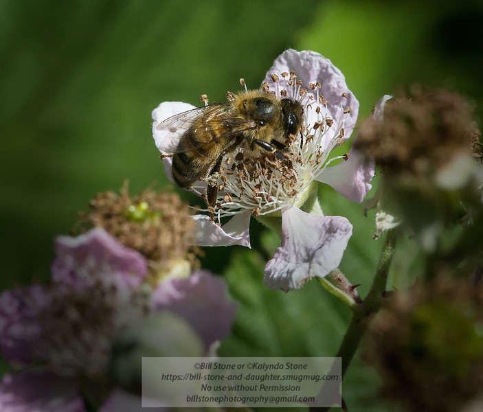 Honeybee on Blackberry<br /> Photo-a-Day 5/25/2013 Bill Stone