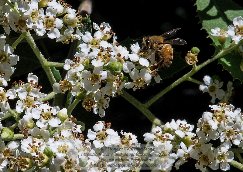 Honeybee on Toyon (Heteromeles arbutifolia)<br /> Photo-a-Day 5/29/2013 Bill Stone