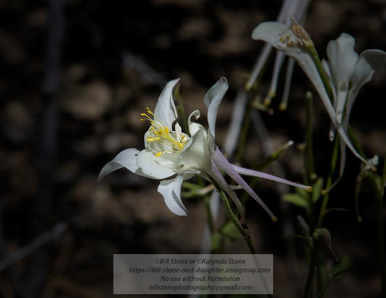 White Columbine<br /> Photo-a-Day 7/30/2014 Bill Stone