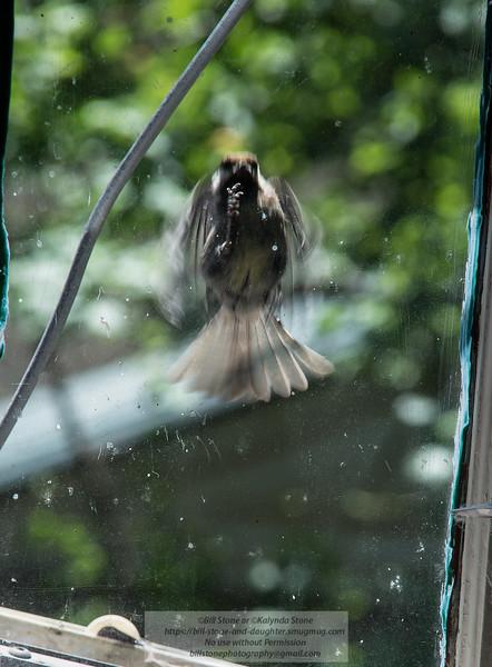 Chickadee battling reflection<br /> Photo-a-Day 6/20/2014 Bill Stone