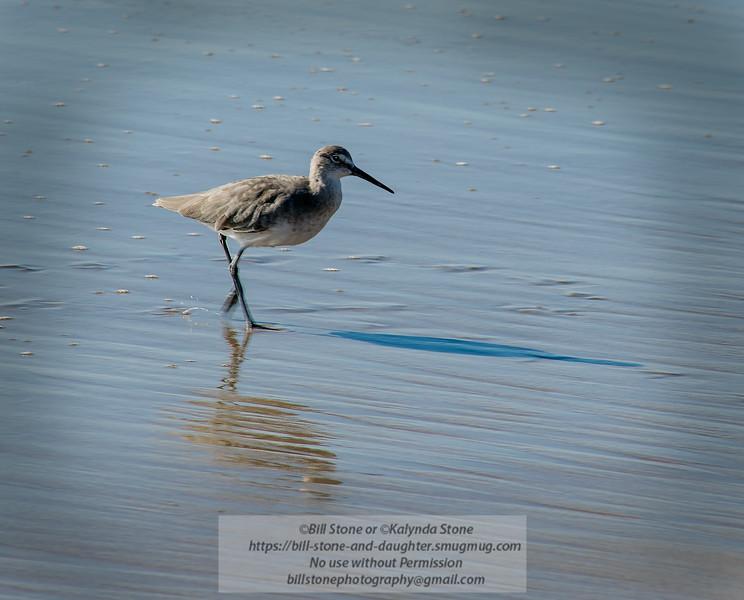 Willet (Tringa semipalmata)<br /> Photo-a-Day 10/9/2014 Bill Stone