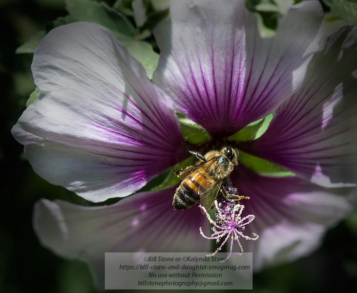 Honeybee on flower<br /> Photo-a-Day 4/10/2014 Bill Stone