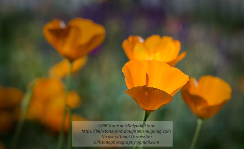 California poppy (Eschscholzia californica)<br /> Photo-a-Day 4/6/2014 Bill Stone