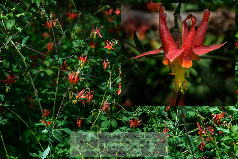 Woodland columbine, Aquilegia formosa, Mount Diablo<br /> Photo-a-Day 5/7/2014 Bill Stone