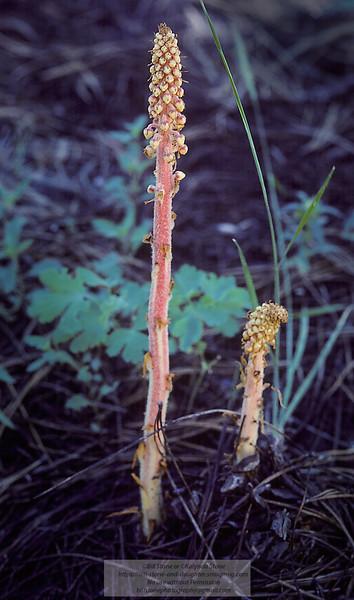 Woodland Pinedrops (Pterospora andromedea)<br /> Photo-a-Day 11/9/2014 Bill Stone